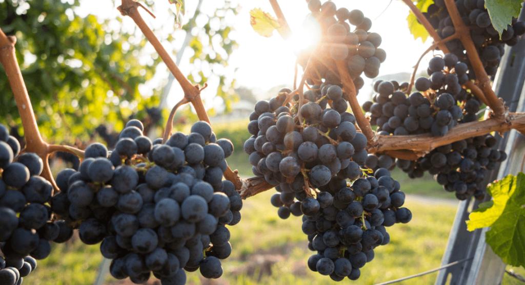 Winorosla w toskanii